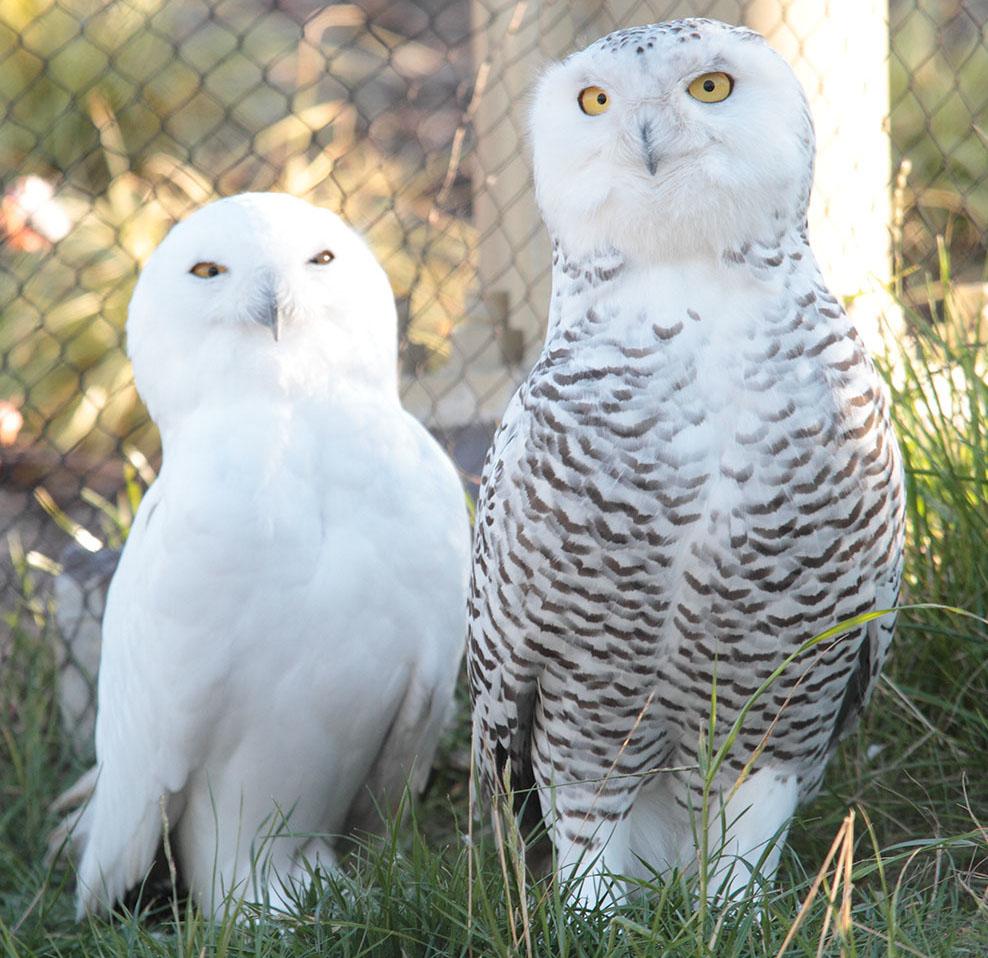 Снежные совы в зоопарке Рануа
