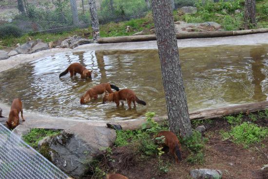 Вольеры для лисиц в Рануа