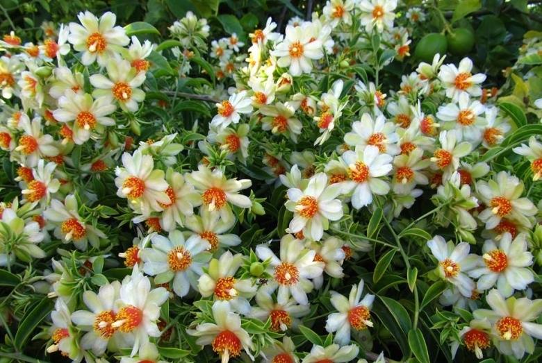 Переския - яркое, обильное цветение