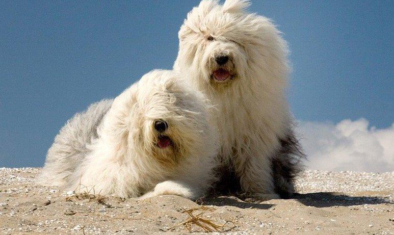 Собаки бобтейлы