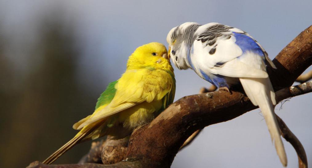 Попугаи создают пару единожды