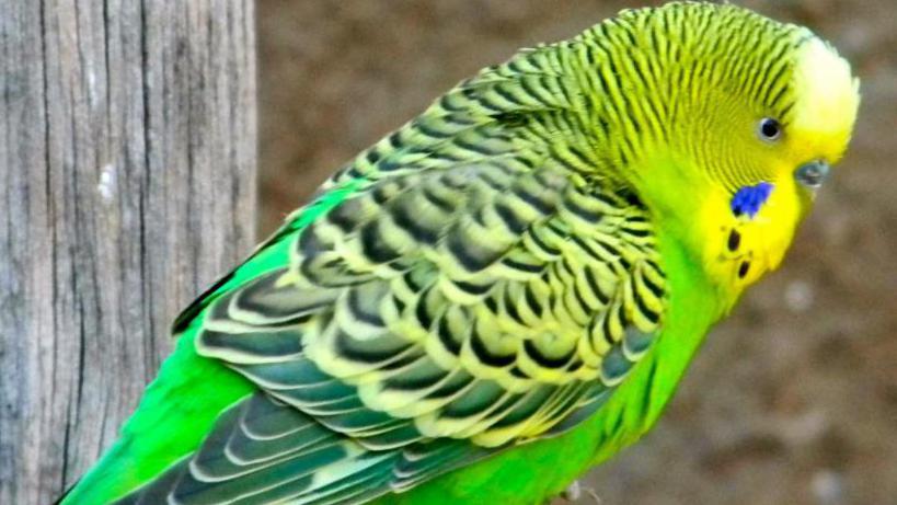 от чего может умереть волнистый попугай