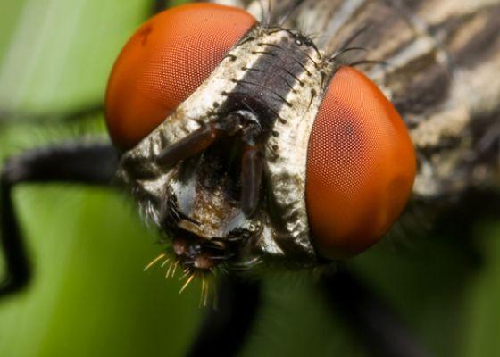 Портрет хорошо знакомой всем мухи