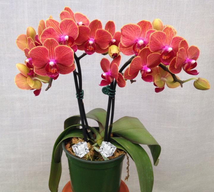 Орхидея засыхает что делать
