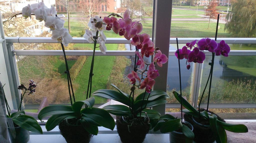 Засохла орхидея что делать