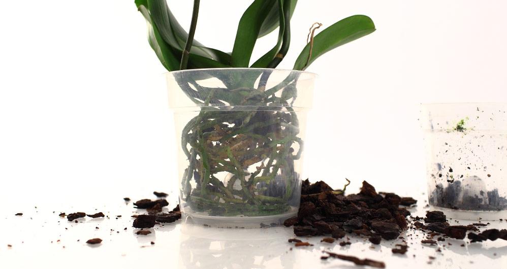 Орхидея засохли листья что делать