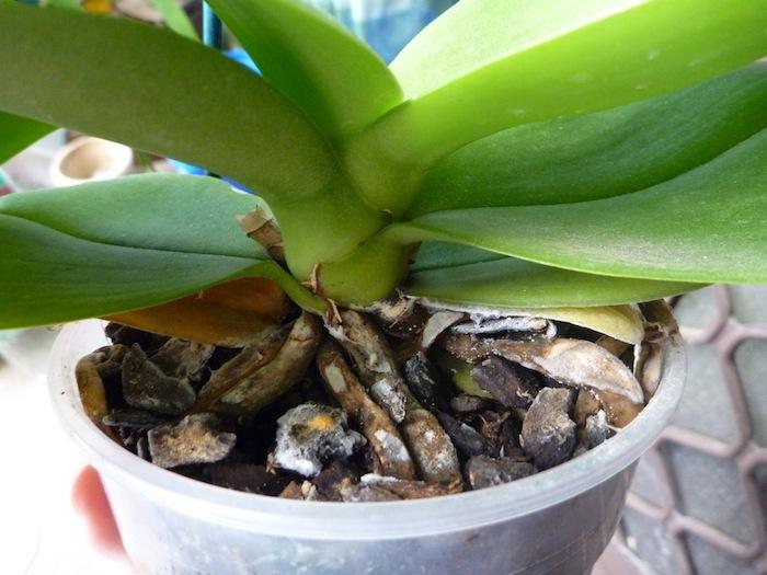Если корни орхидеи засохли, что делать