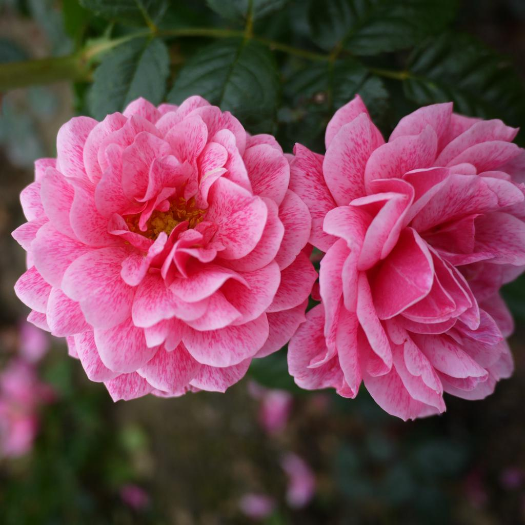роза камелот плетистая