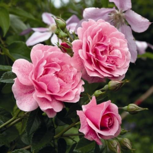 Бутоны розы Камелот