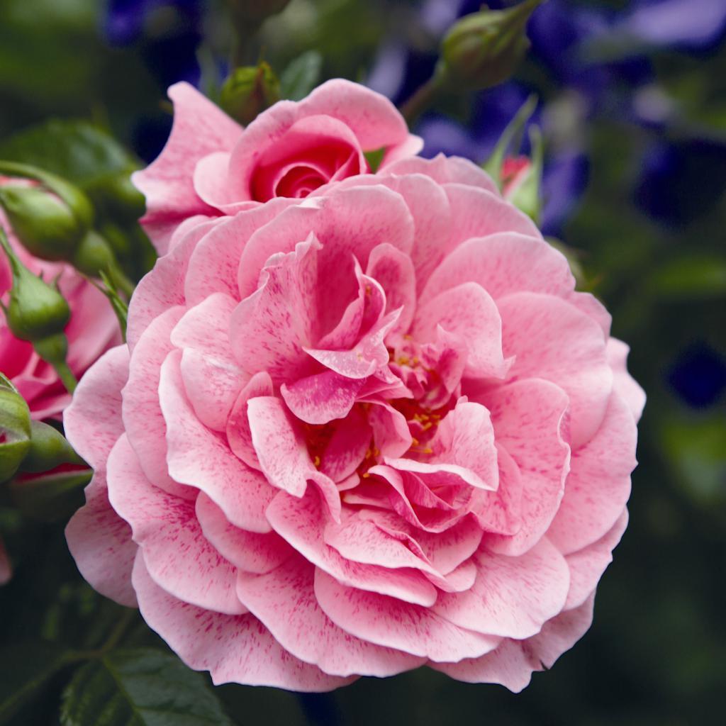 якрие цветы Камелота