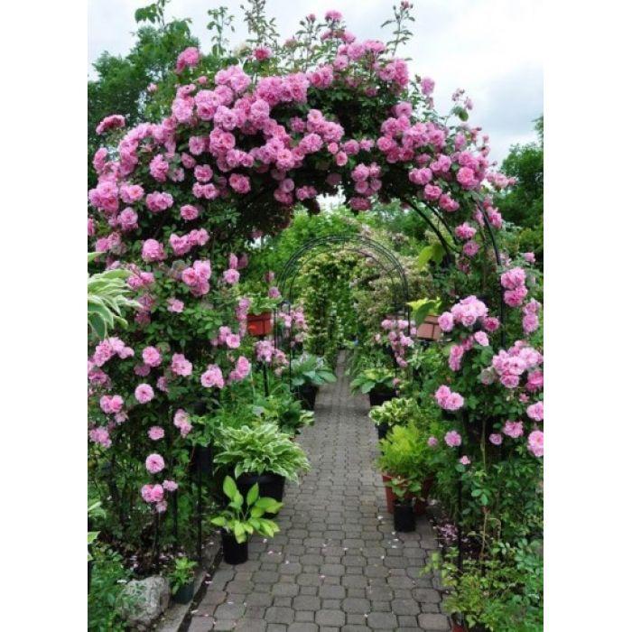 Украшение арки розой Камелот
