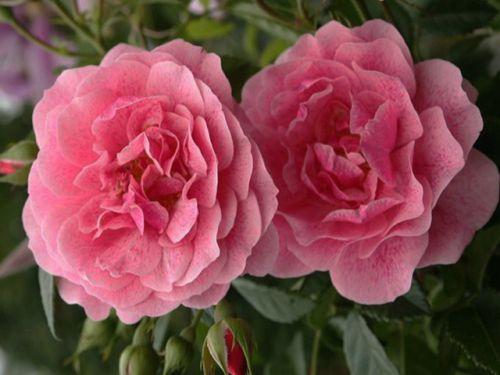Яркое цветение розы Камелот