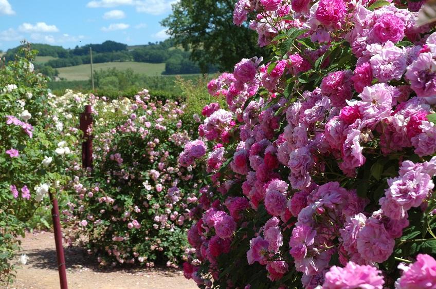 Красивые розы Камелот