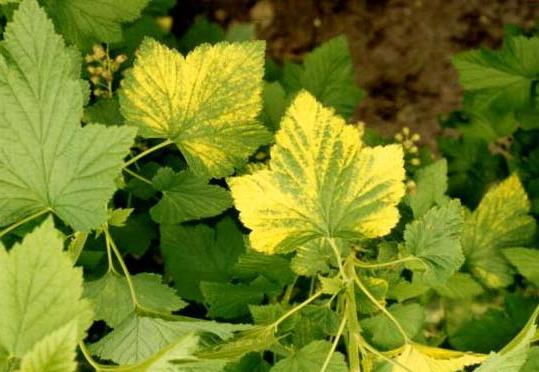 почему у черной смородины желтеют листья