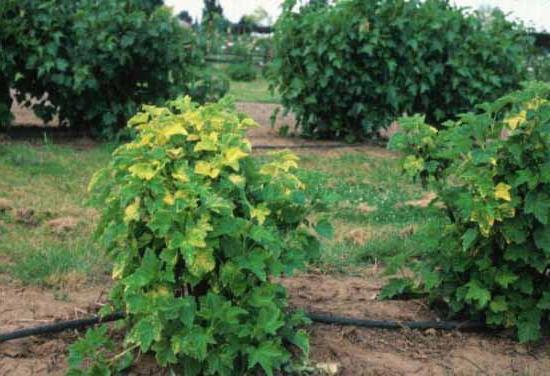 почему желтеют листья черной смородины