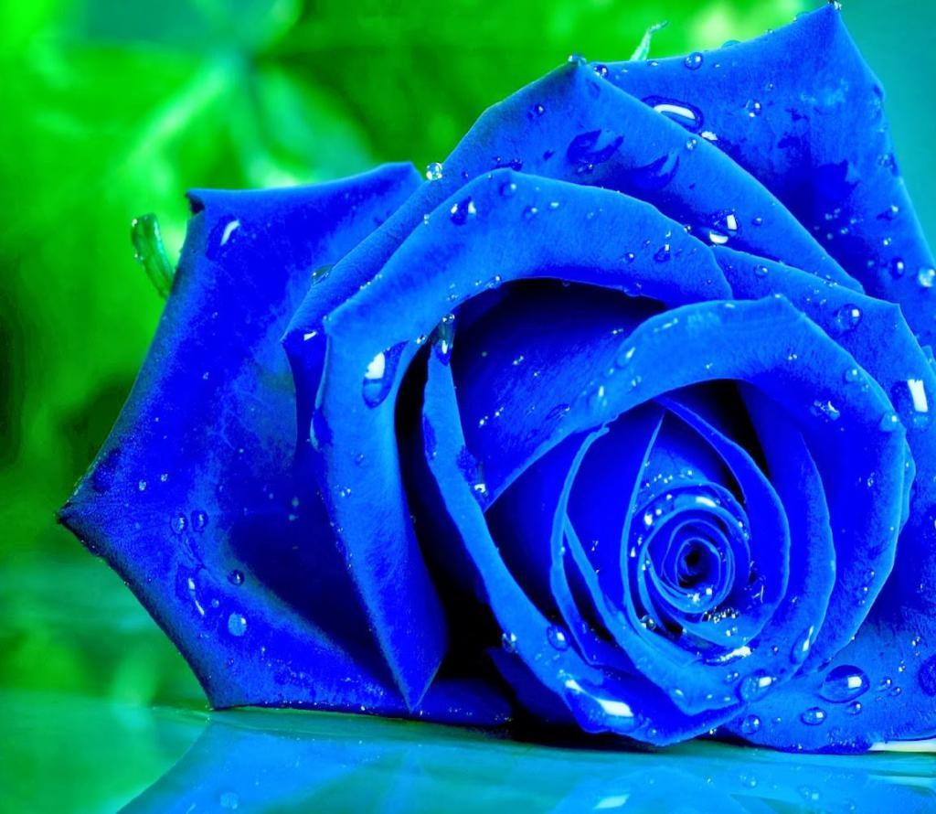 бывают ли розы синего цвета