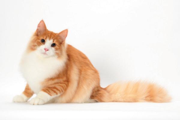 Крупные кошки