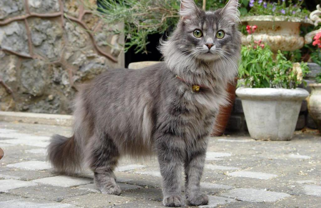 Норвежская лесная кошка питомник