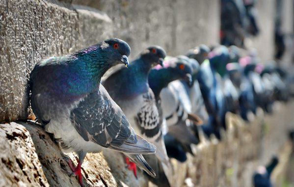 Голуби сидят на стене