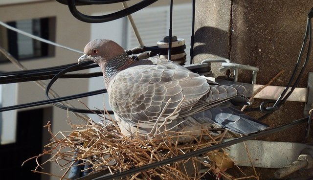 Сидят ли голуби на деревьях?
