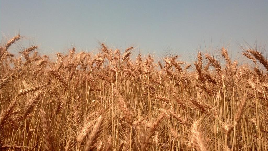 сроки посева пшеницы