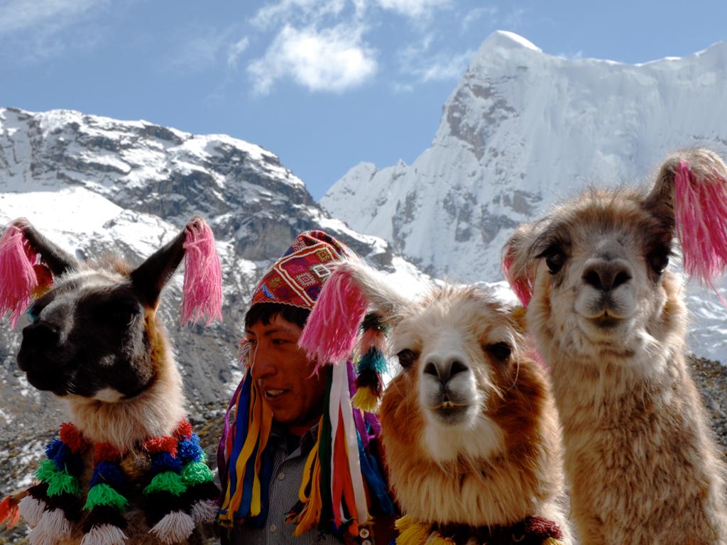 Ламы и альпаки