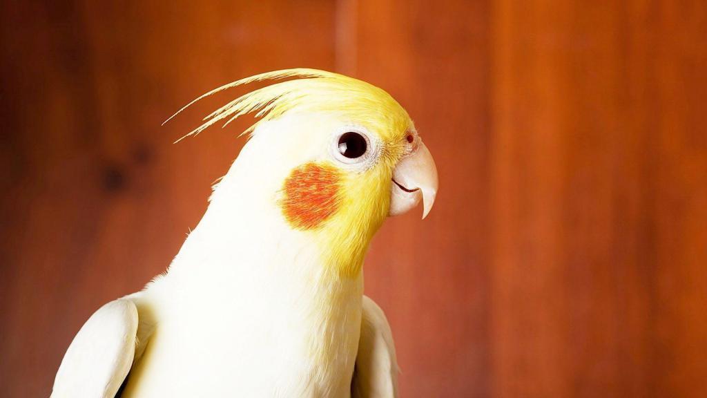 Корелла фотография птицы