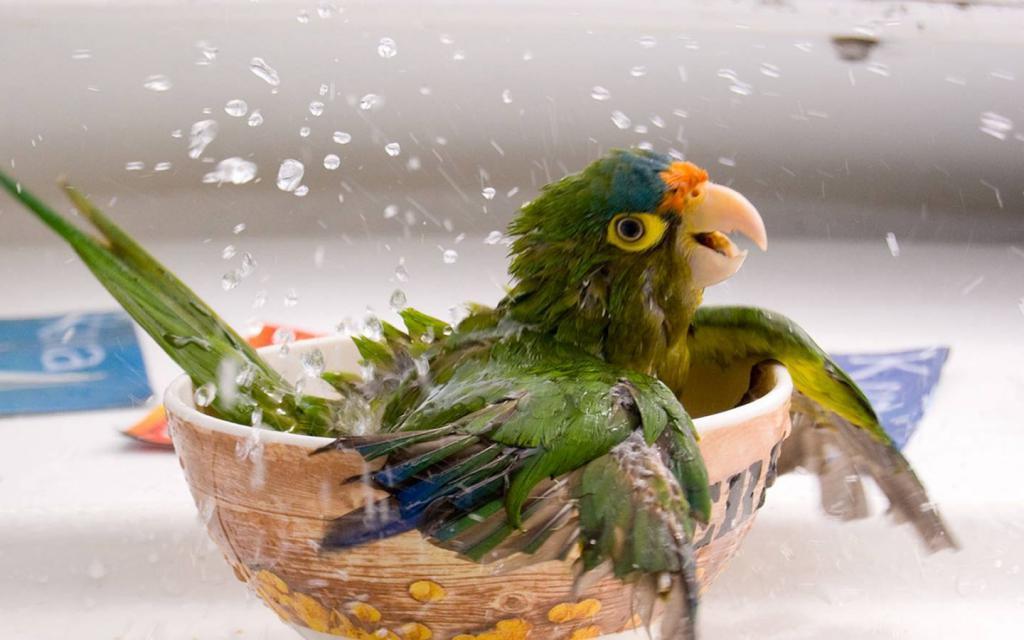 Попугайчик плещется в ванной