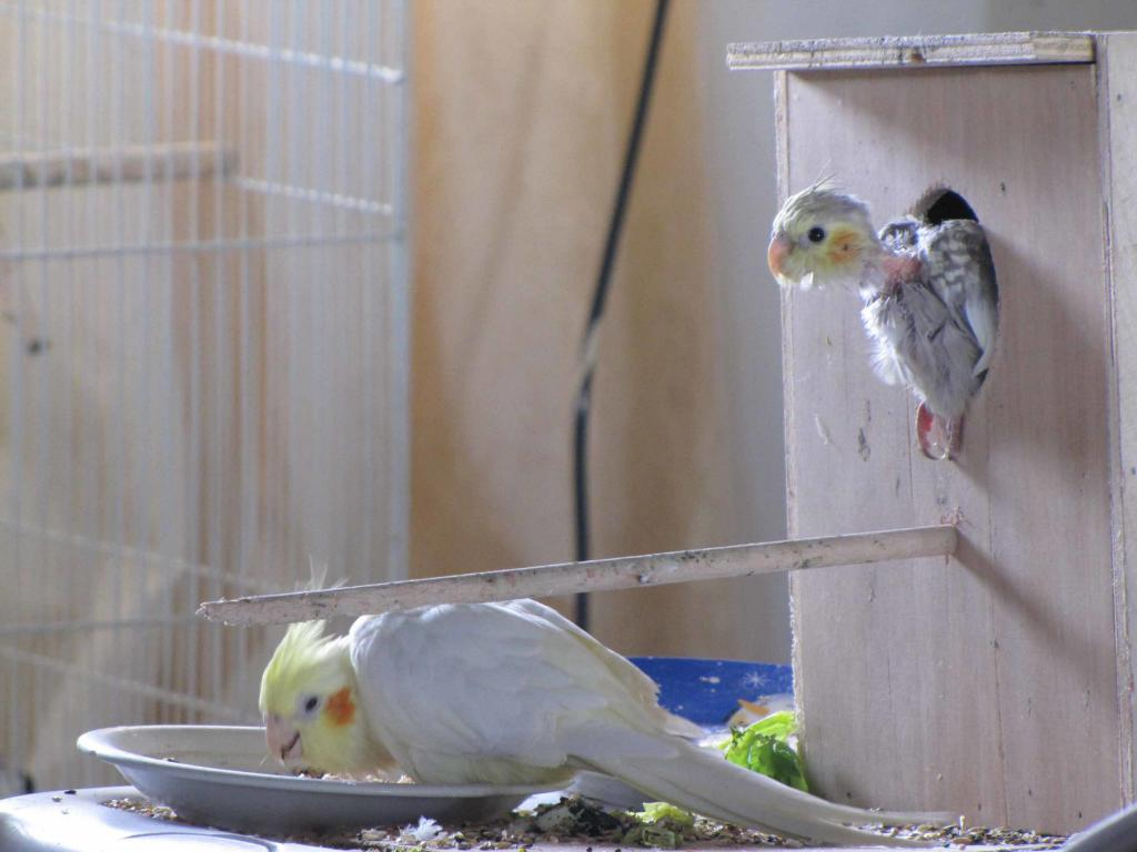 Птица корелла и птенец
