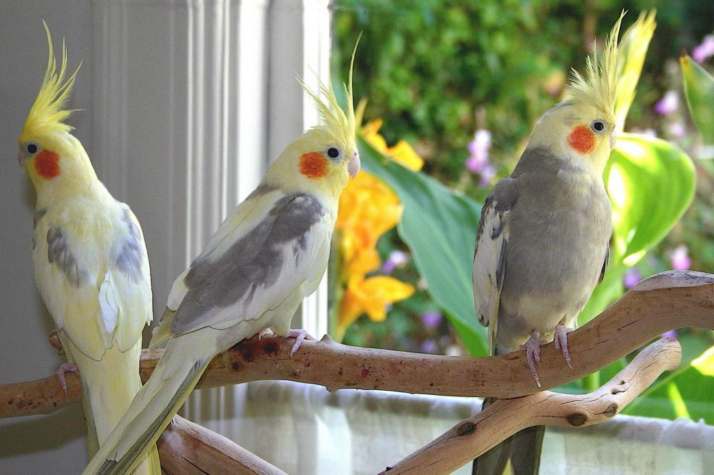 Кореллы птицы сидят на жердочке