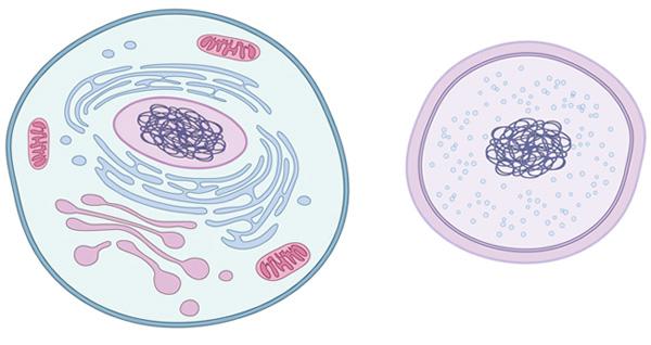 Схематический рисунок клеток