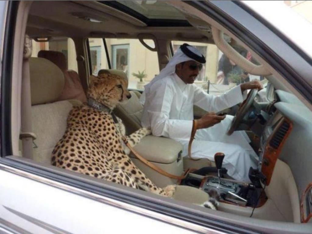 шейх в машине и гепард