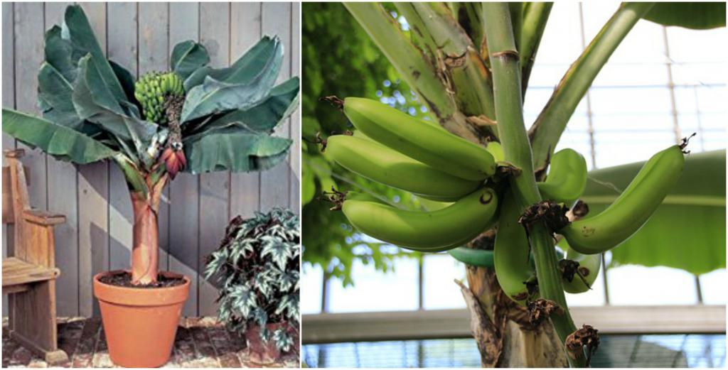 Комнатный банан