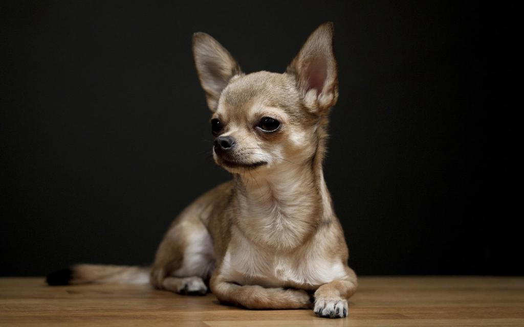 Породистый щенок