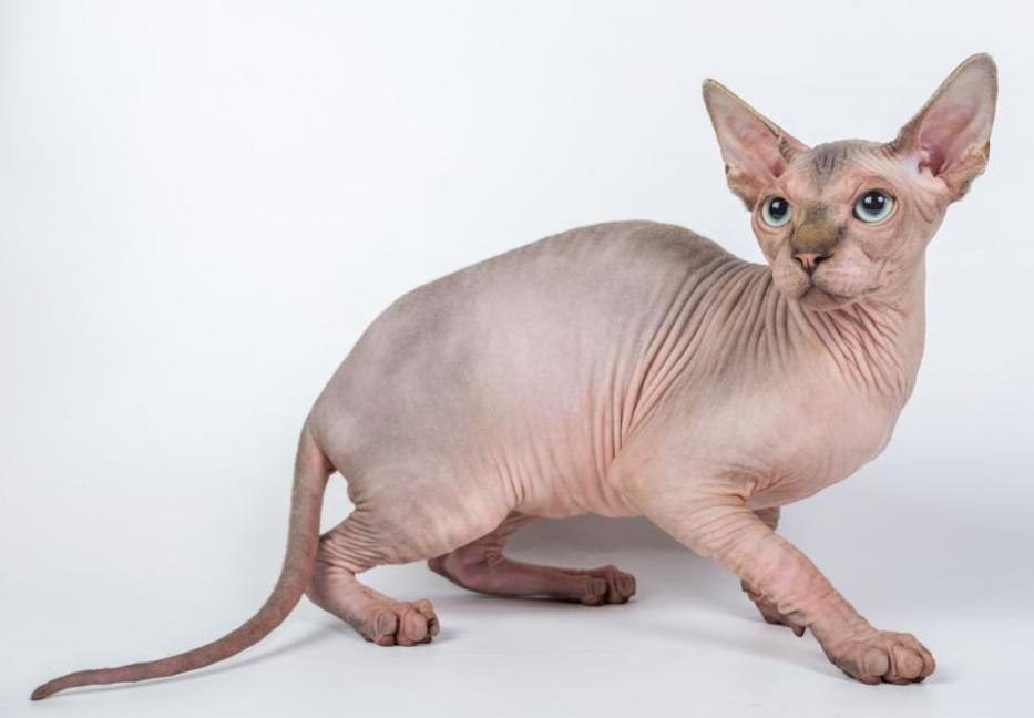"""Кот породы """"Сфинкс"""""""