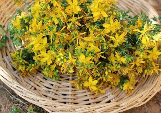 побочные эффекты и противопоказания растения