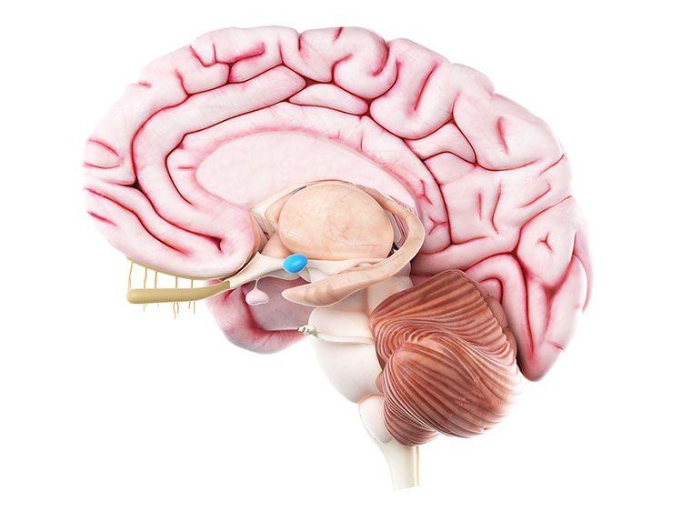 Модель головного мозга