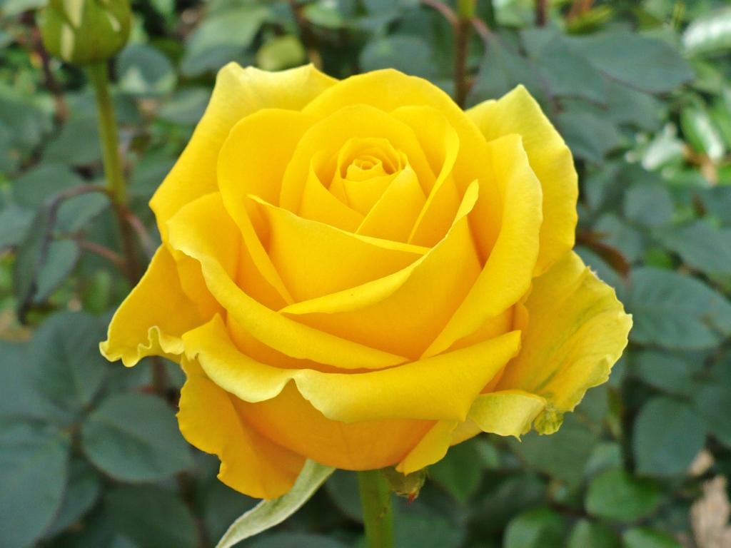 к чему снятся желтые розы в букете