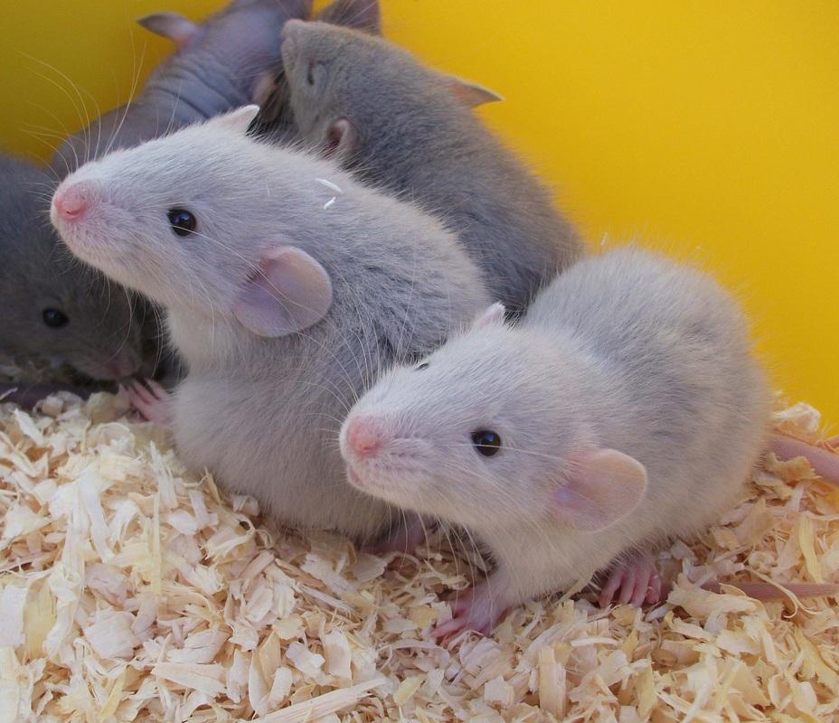 голубая крыса