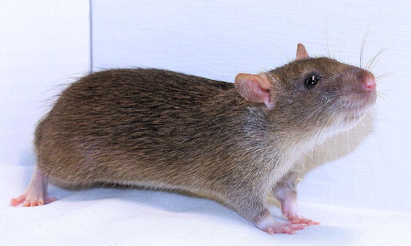 бесхвостая крыса