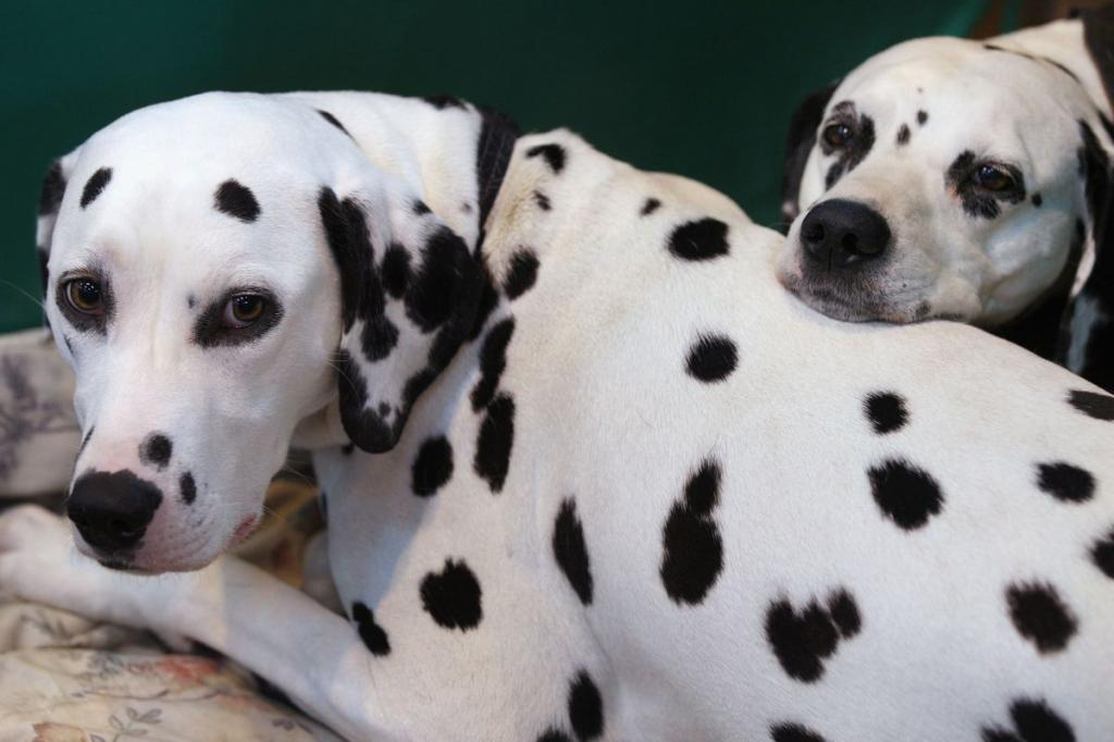 Далматин самая преданная собака