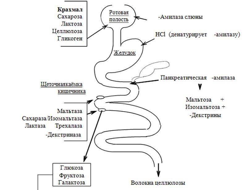 Схема переваривания углеводов