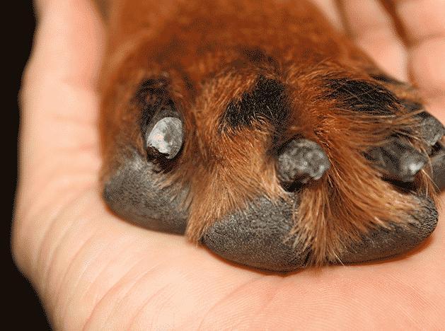 Подстриженные когти у собаки