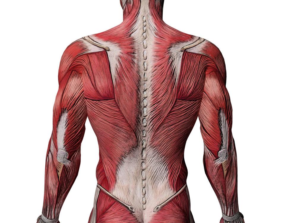Как сделать широкую спину