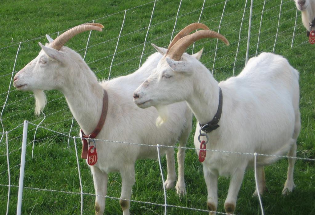 домашние козы на козьей ферме