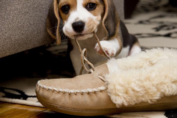 Щенок, грызущий обувь