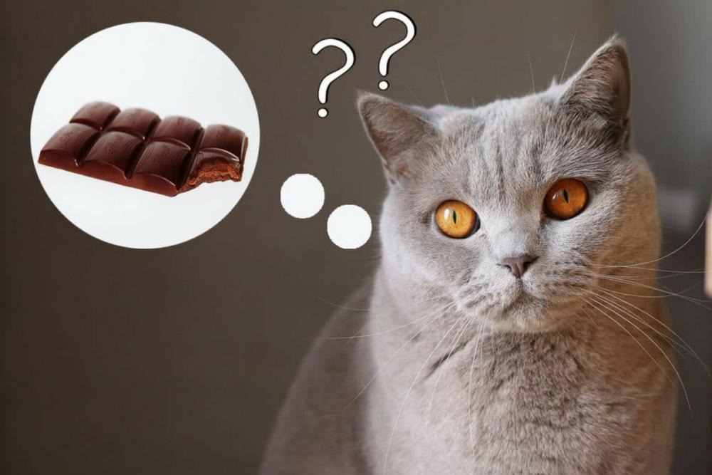 Шоколад ядовит для кошки