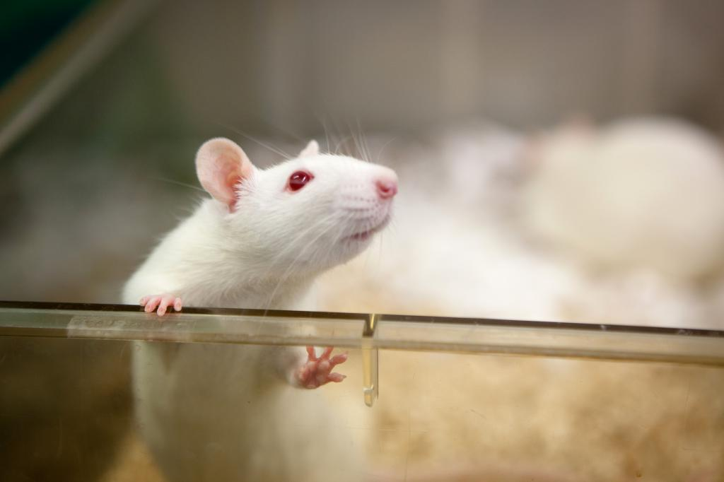 Белая декоративная крыска
