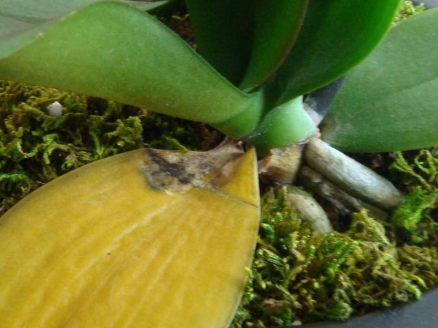 почему у орхидеи вянут и желтеют листья