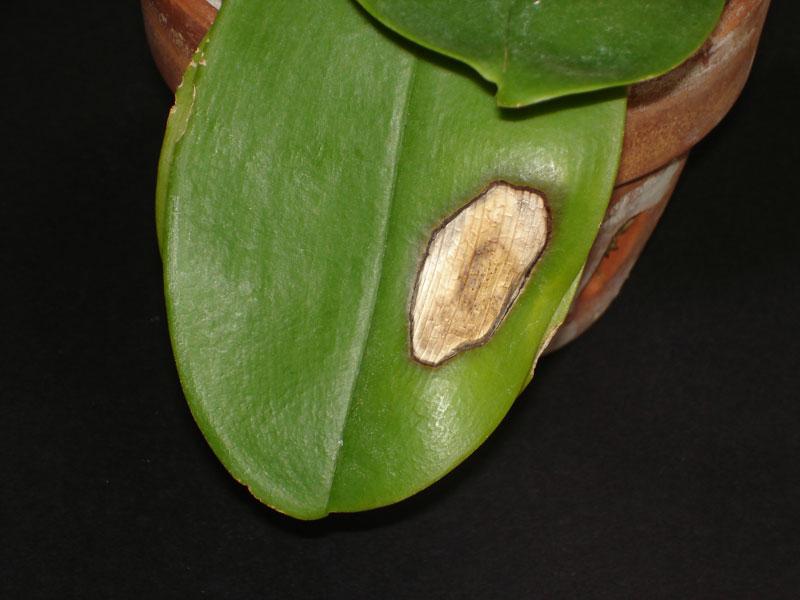 почему вянет и желтеет орхидея